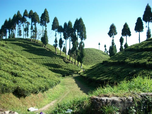 Free stock photo of tea garden