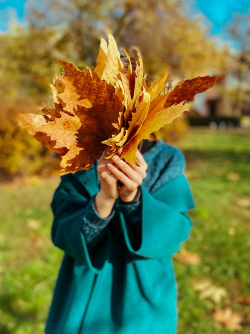 Person in Blue Outfit Holding Brown Maple Leaves