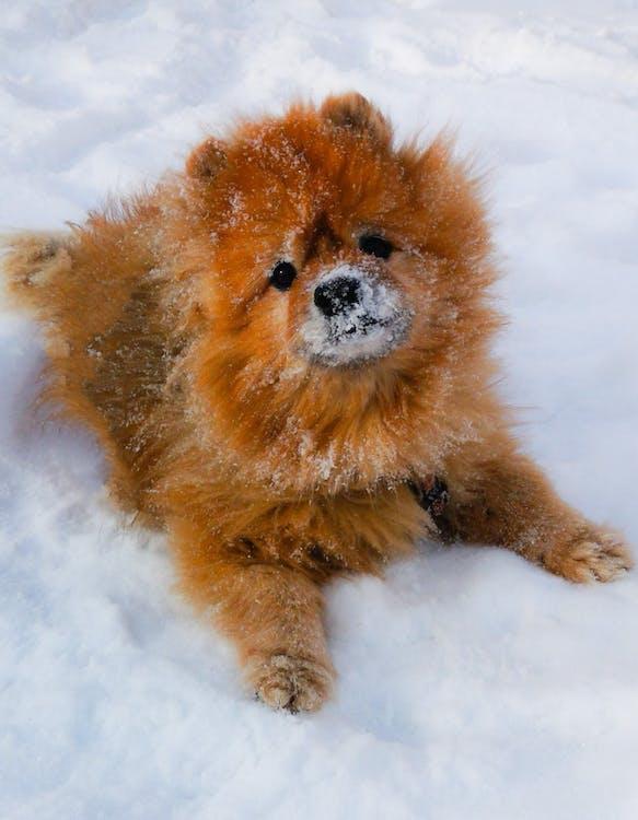 Brown Pomeranian Lying on Snow