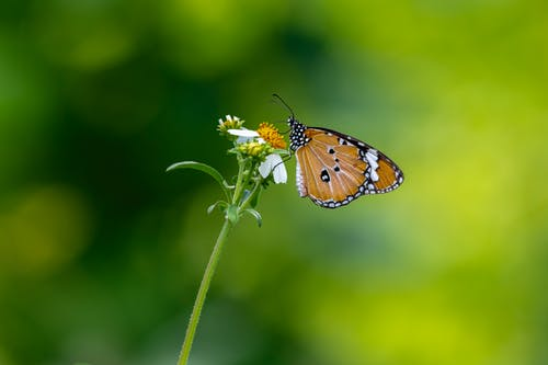 Brown And Black Butterfly Perched On White Flower In Close Up Photography
