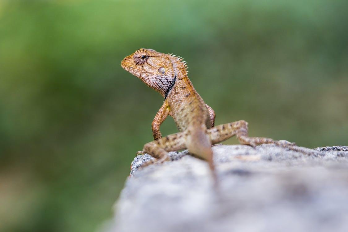 Lizard on Gray Rock