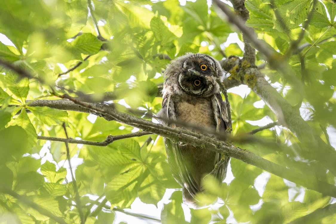 Brown Owl on Tree Branch