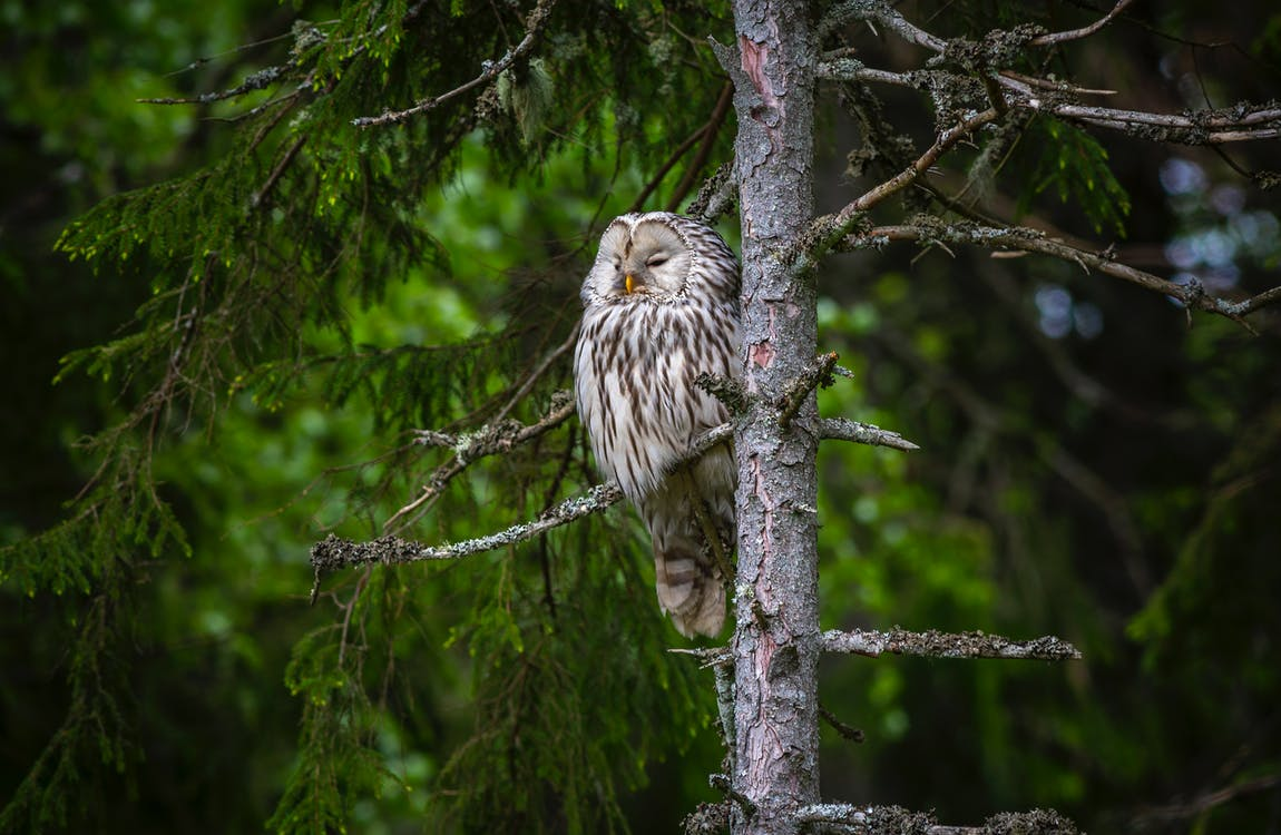 Brown Owl on Brown Tree Branch