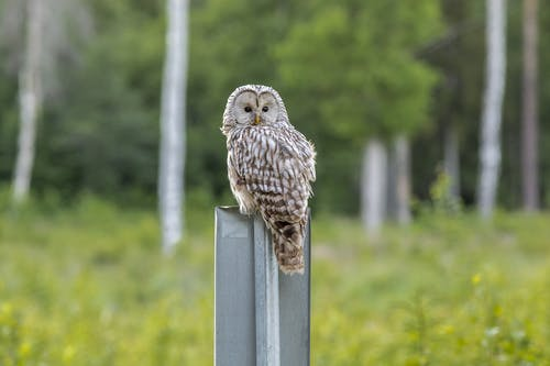 Brown Owl Perched on Gray Post