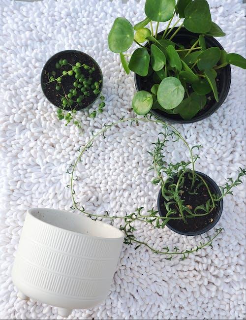 Free stock photo of decorative plant, green plants, plant pot