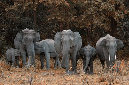 Gray Elephants Walking on Field
