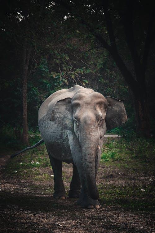 Grey Elephant Walking on Green Grass Field