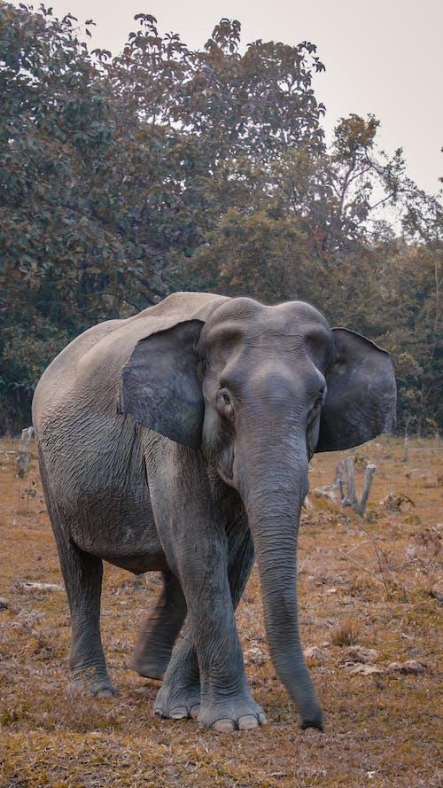 Δωρεάν στοκ φωτογραφιών με άγρια φύση, άγριο ζώο, άγριος, αφρικανικός ελέφαντας