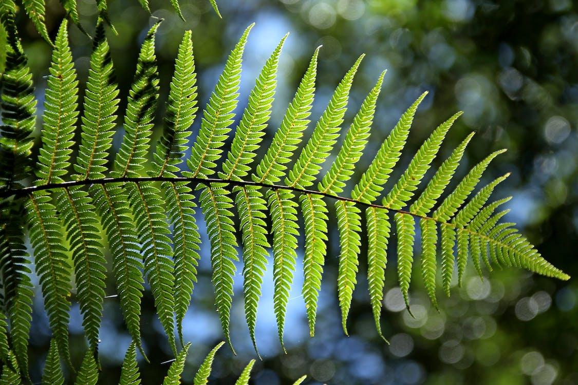 dương xỉ, màu xanh lá, sự phát triển