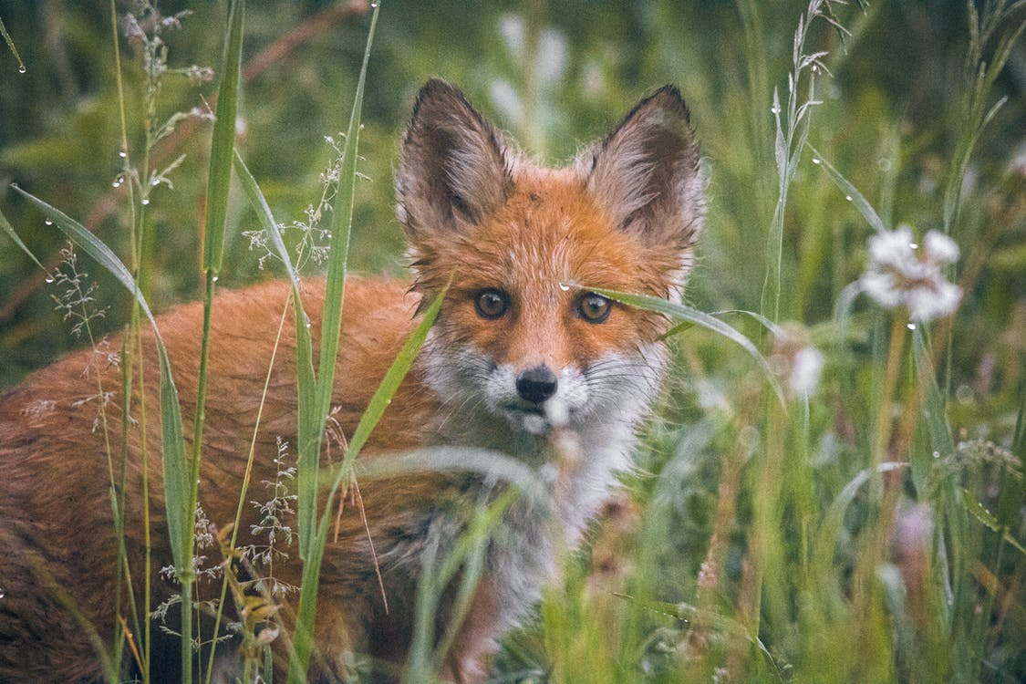 Brown and White Fox on Green Grass