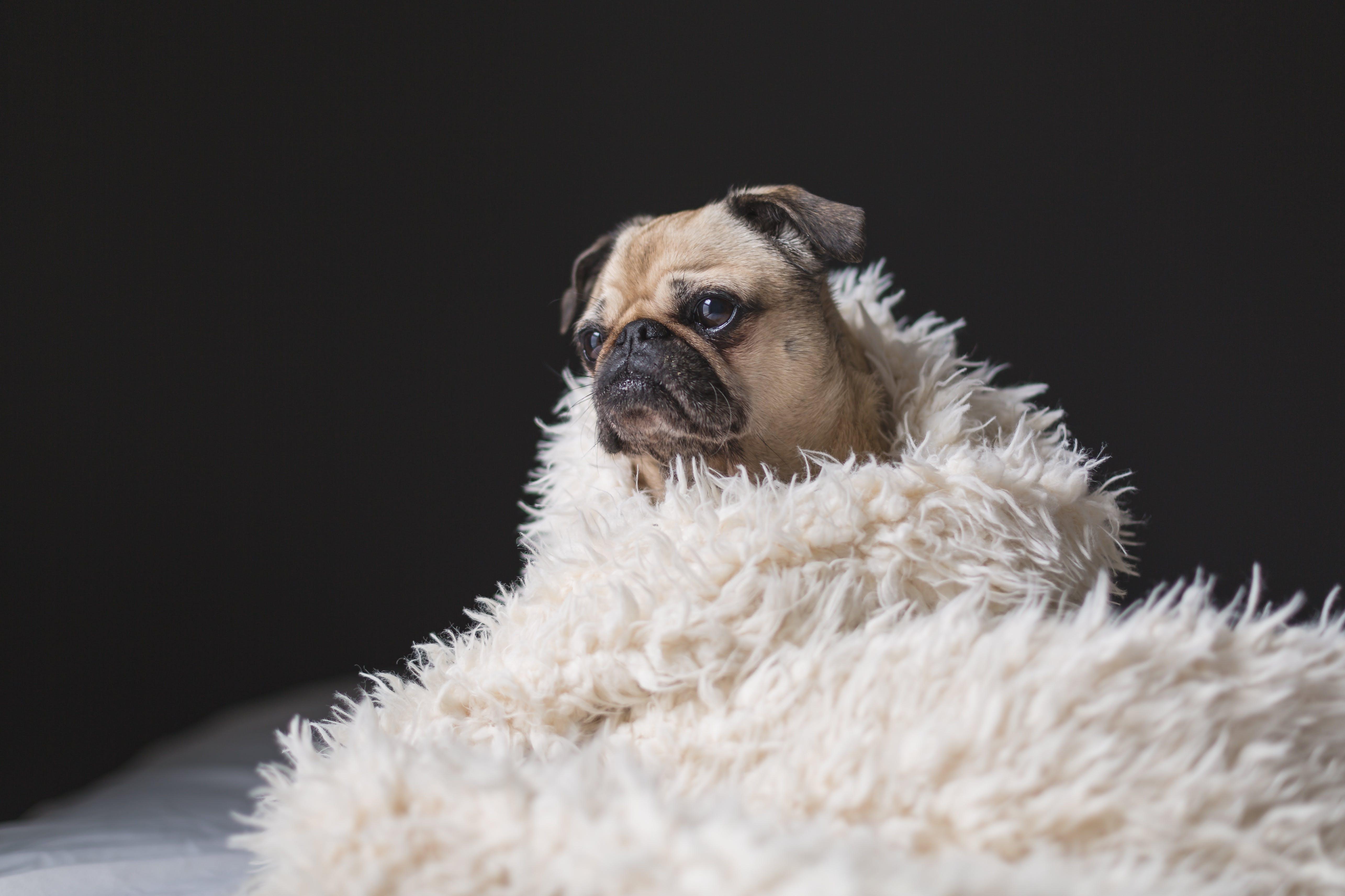 Gratis lagerfoto af brun pug, close-up, dyr, dyrefotografering