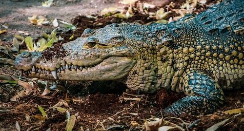 Δωρεάν στοκ φωτογραφιών με άγρια φύση, άγριος, αλιγάτορας, αμφίβιος