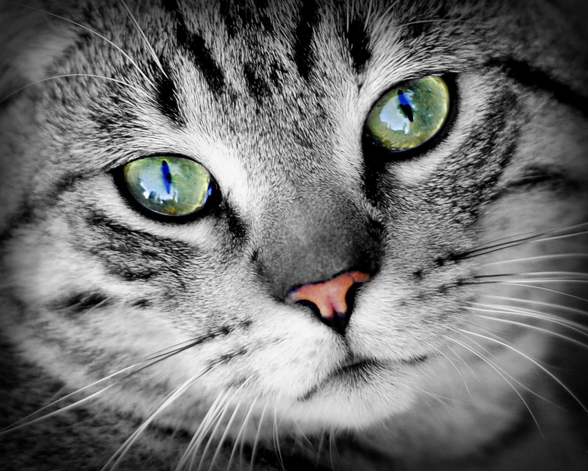 Wildlife Photography of Silver Tabby Cat