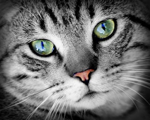 Безкоштовне стокове фото на тему «великий план, домашній кіт, кішка, портрет тварини»
