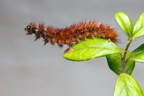 Brown Caterpillar on Green Leaf