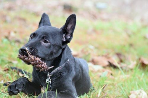 Free stock photo of black dog, canine, dog