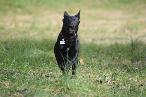 Free stock photo of action shot, black dog, canine