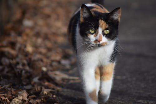 Free stock photo of calico, calico cat, cat, domestic animal