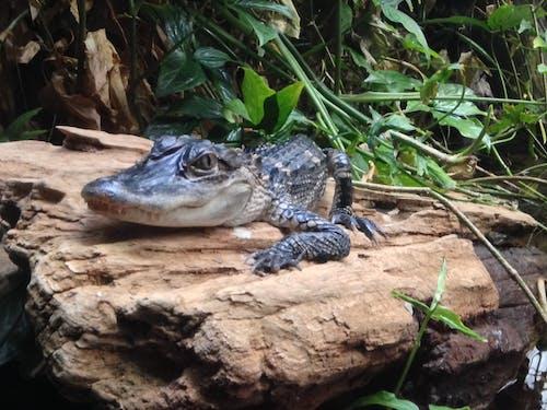 Kostenloses Stock Foto zu alligator, baby alligator, baby-gator, sumpf