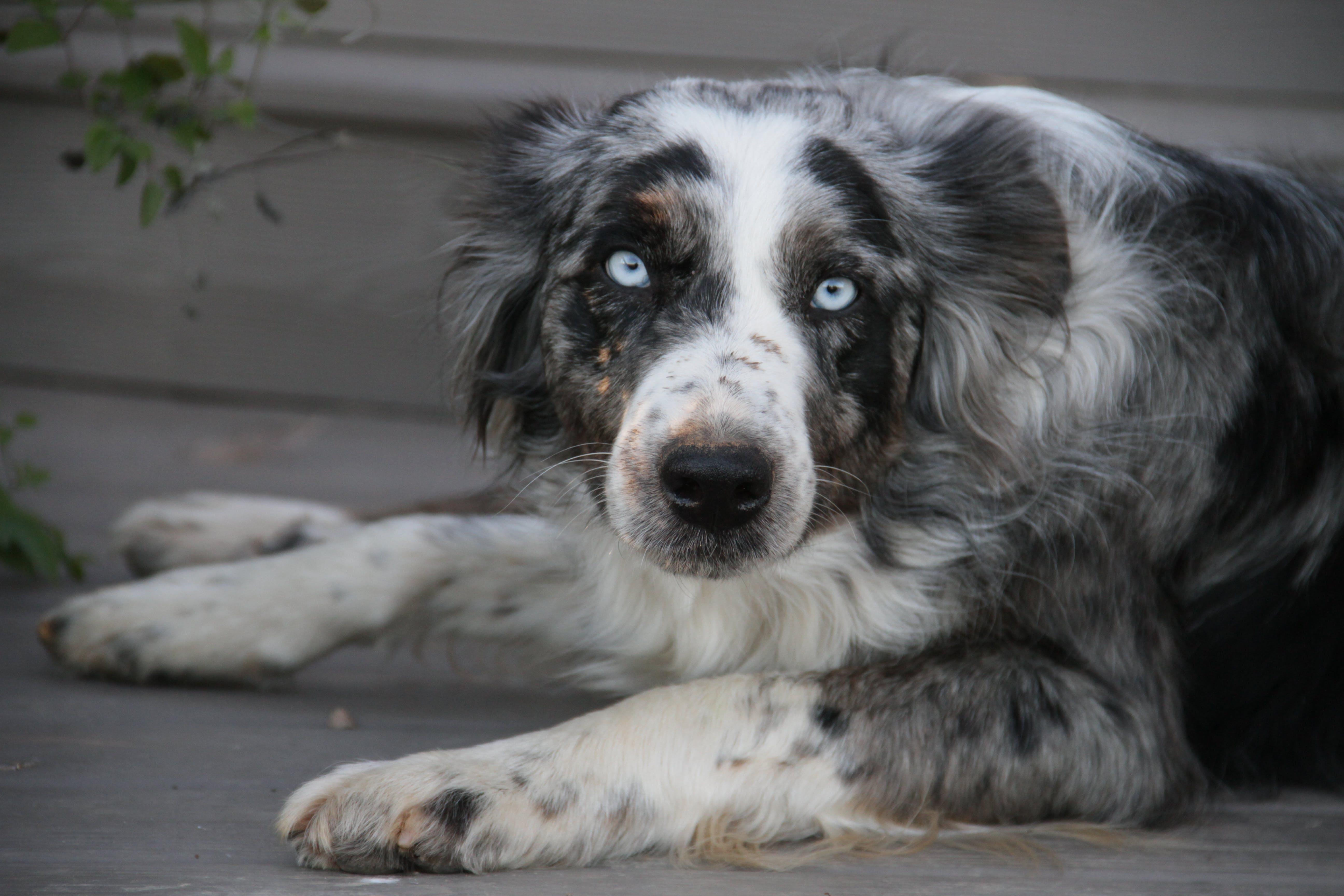 Free stock photo of dog, family dog, grey eyed dog, hearding dog