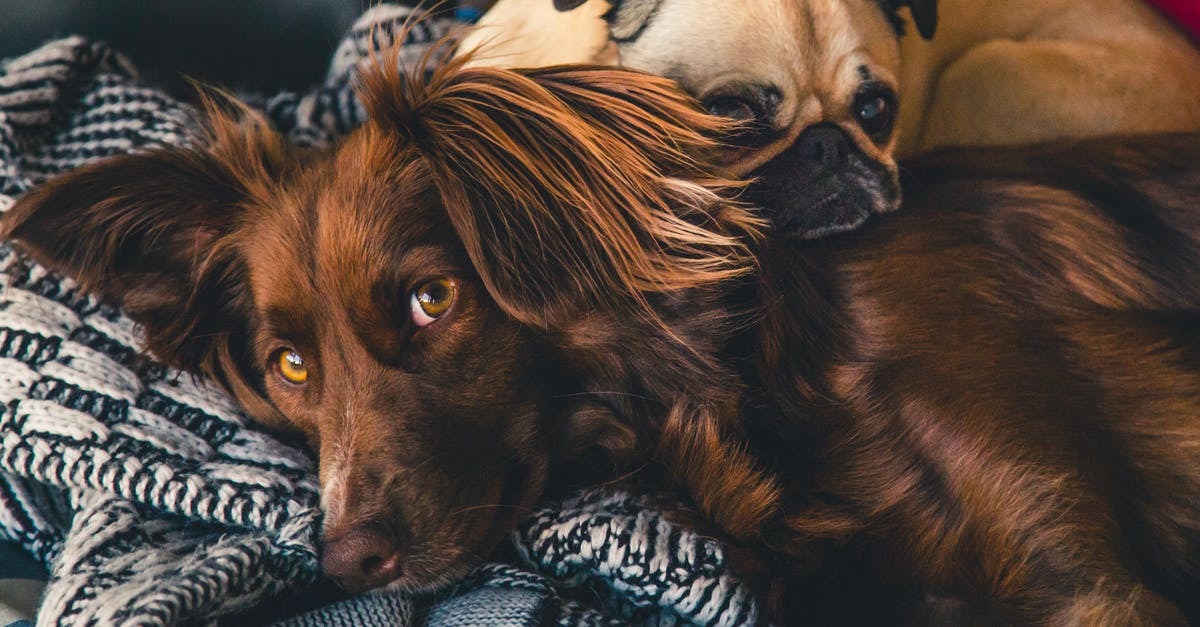 Adult Brown Gordon Setter And Pug 183 Free Stock Photo