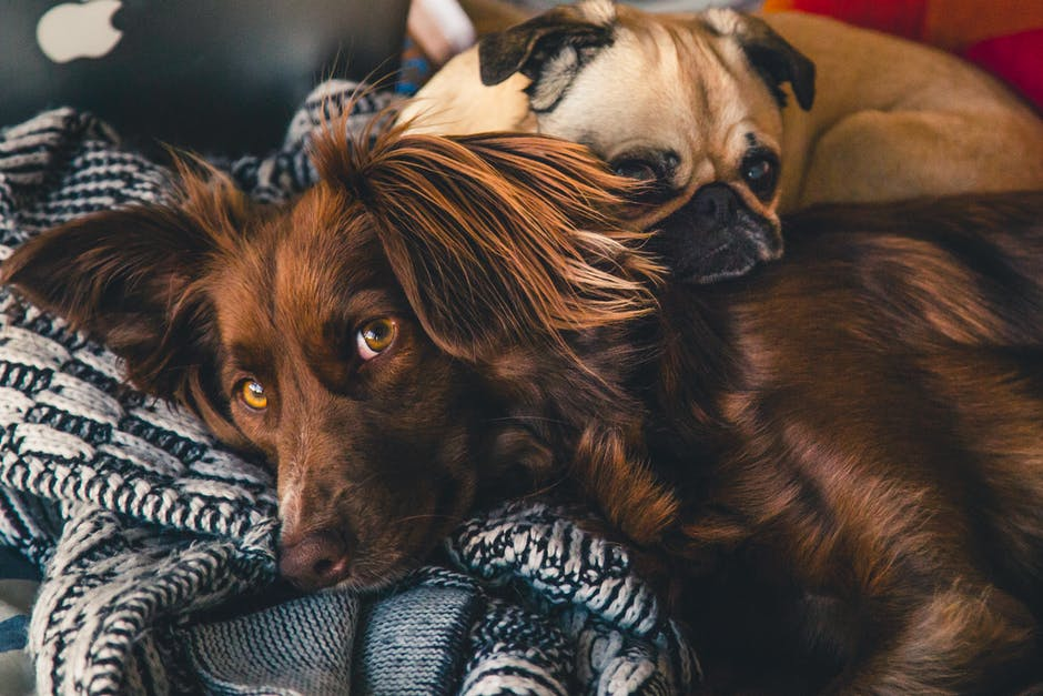Adult Brown Gordon Setter and Pug