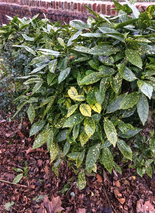 Free stock photo of bush, evergreen, green