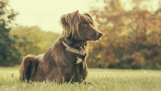 field, animal, dog