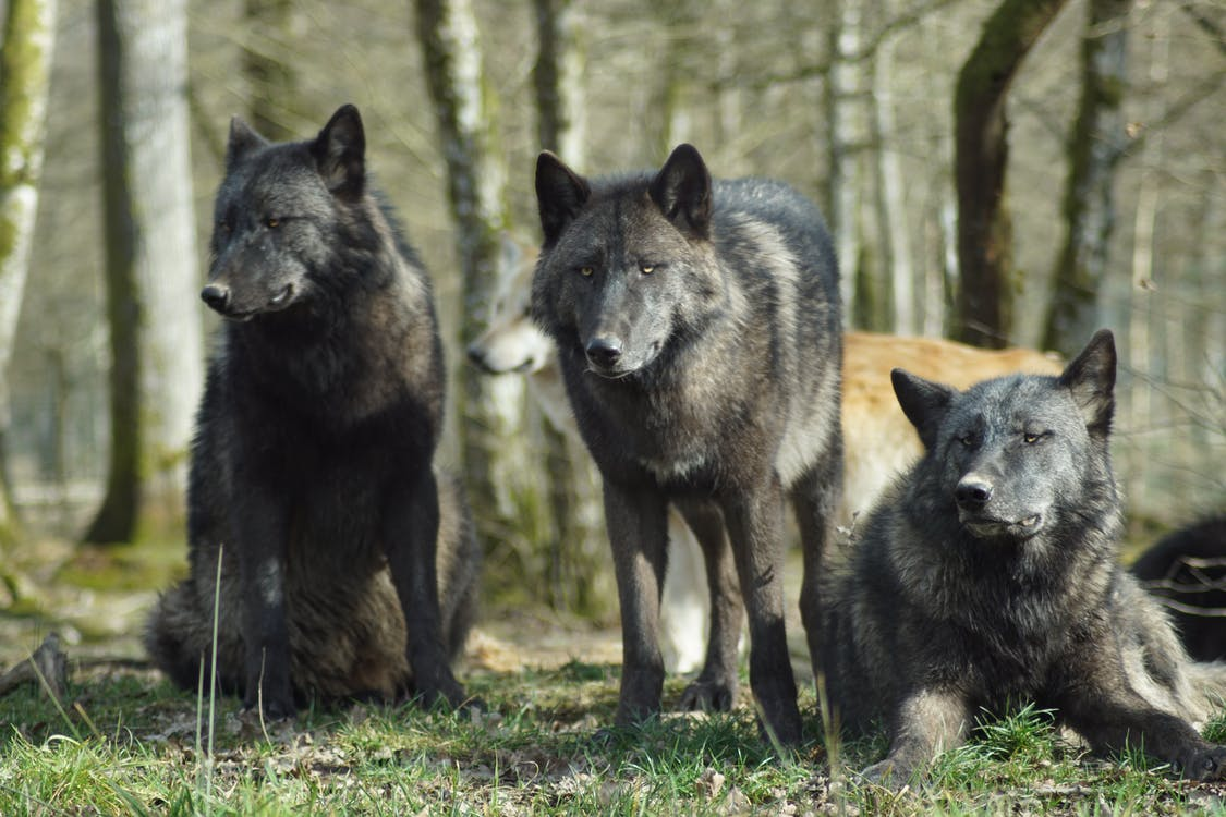 Big wolves Cry. Why Does Emotional Agility Matter?  Example of some wolves.