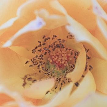 Kostenloses Stock Foto zu gelb, frühling, makro, rose