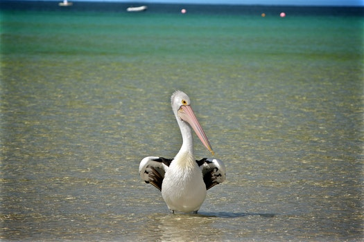 Free stock photo of bird, pelican, beak, shore