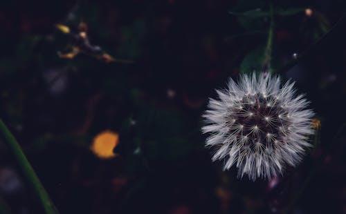 Безкоштовне стокове фото на тему «Біла квітка, великий план, вечір, завод»