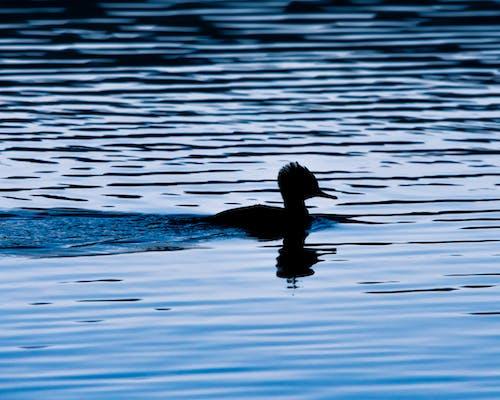 Kostnadsfri bild av anka, blå, djur, fågel