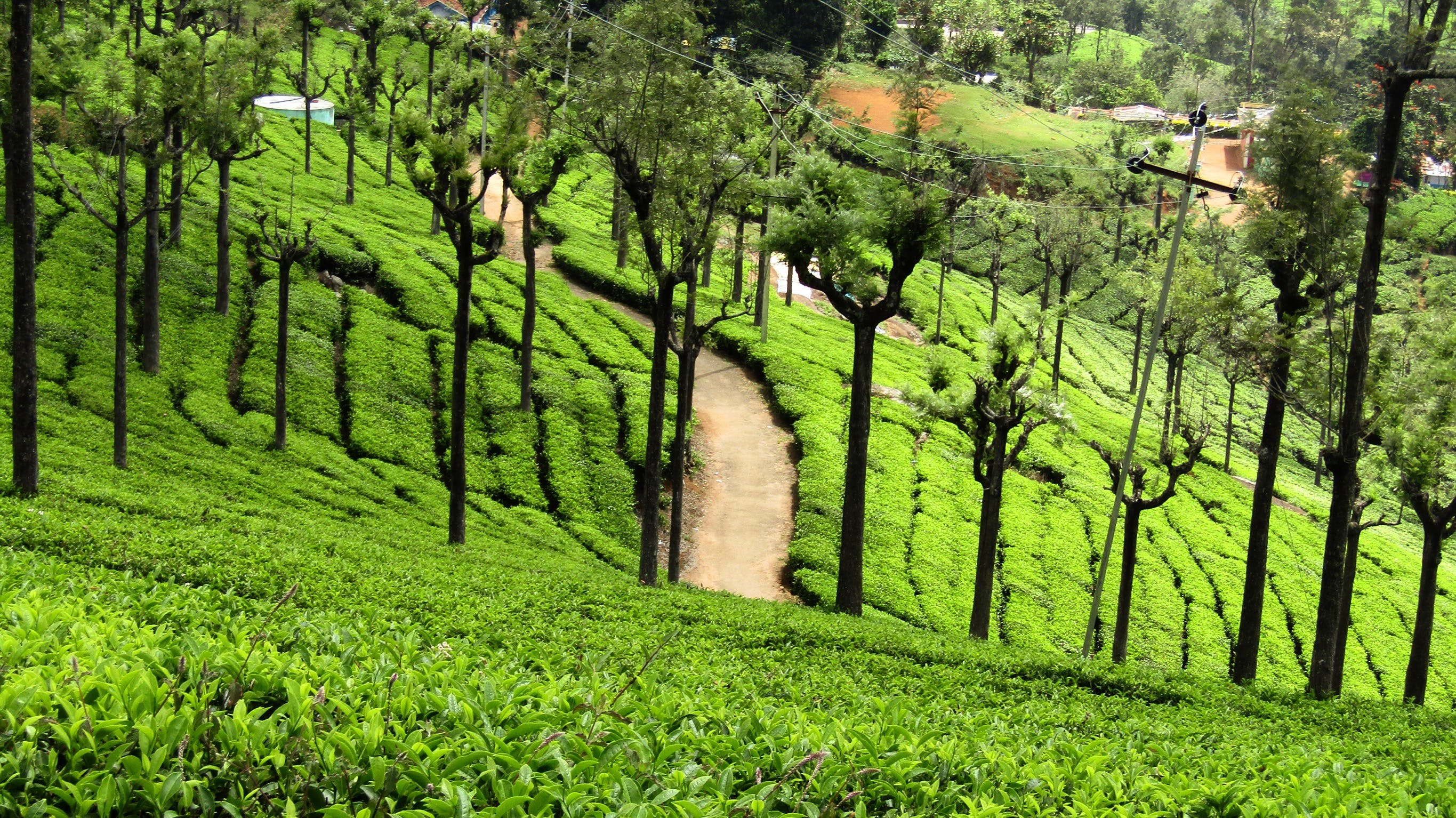 Free stock photo of Ooty tea estate