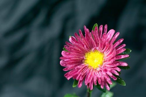 Free stock photo of beautiful, beautiful flower, close up