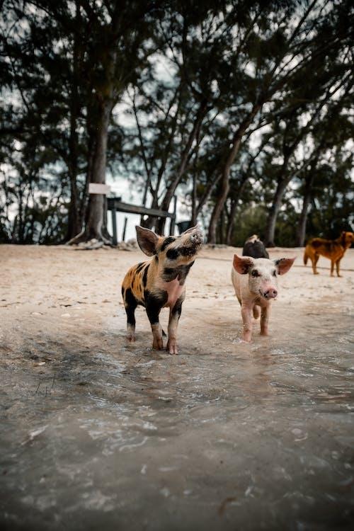 Cute small pigs walking on sandy beach near pond against high green trees