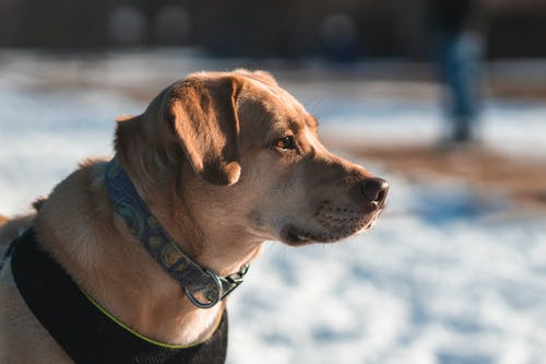Brown Short Coated Dog With Green Collar