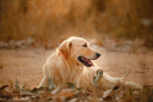 Calm fluffy Golden Retriever relaxing during stroll and looking away while sticking out tongue