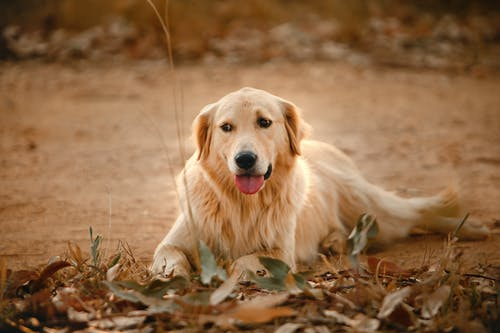 Obedient Golden Retriever spending time in park