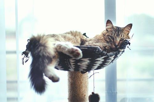 Коричневый полосатый кот на кошачьем дереве