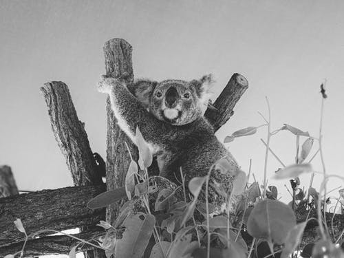 Koala Bear on Tree Branch