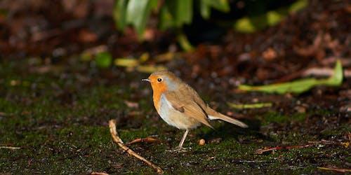 Foto d'estoc gratuïta de au, brutícia, ocell, pit-roig