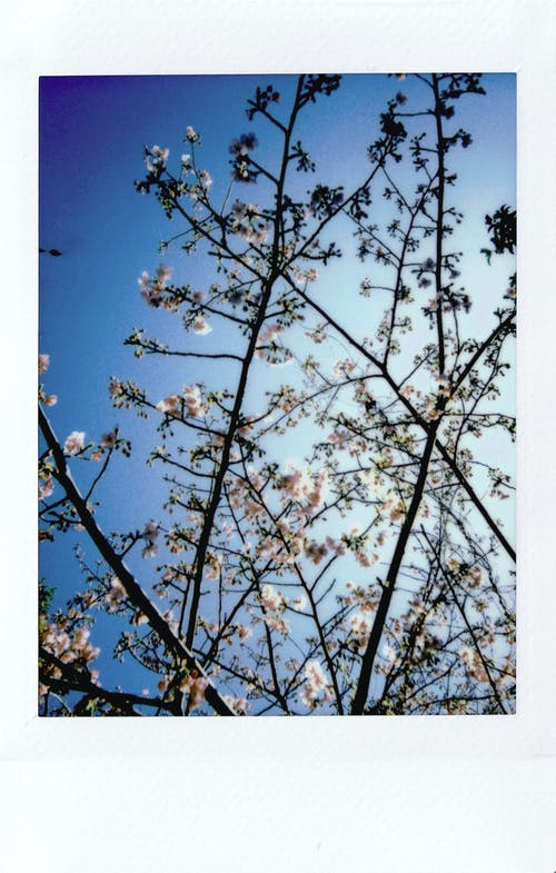 Low Angle Photo of Cherry Blossom Tree Under Clear Blue Sky