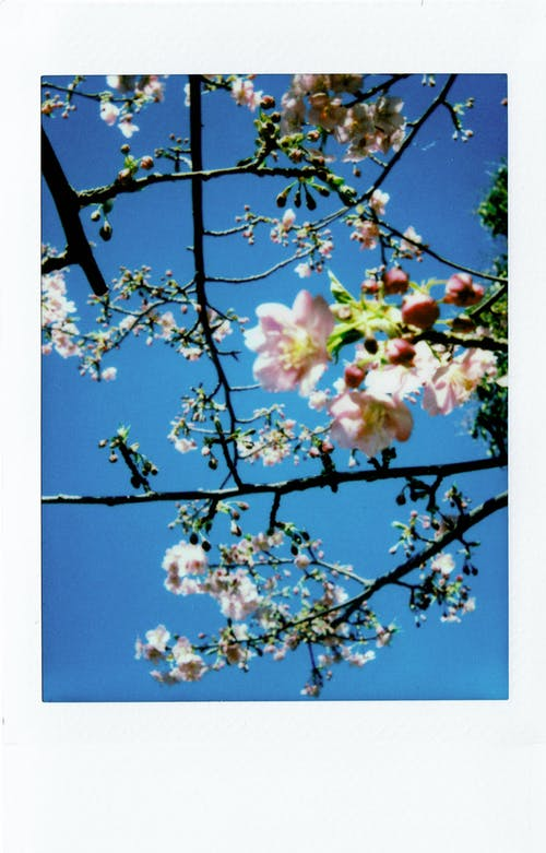 Low Angle Close-up Photo of Pink Cherry Blossom Tree Under Clear Blue Sky