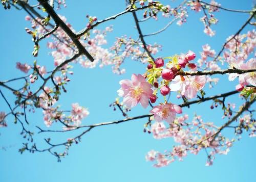 日本, 春天, 櫻花 的 免費圖庫相片