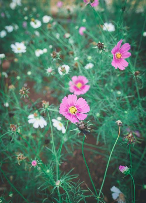 Free stock photo of daisies