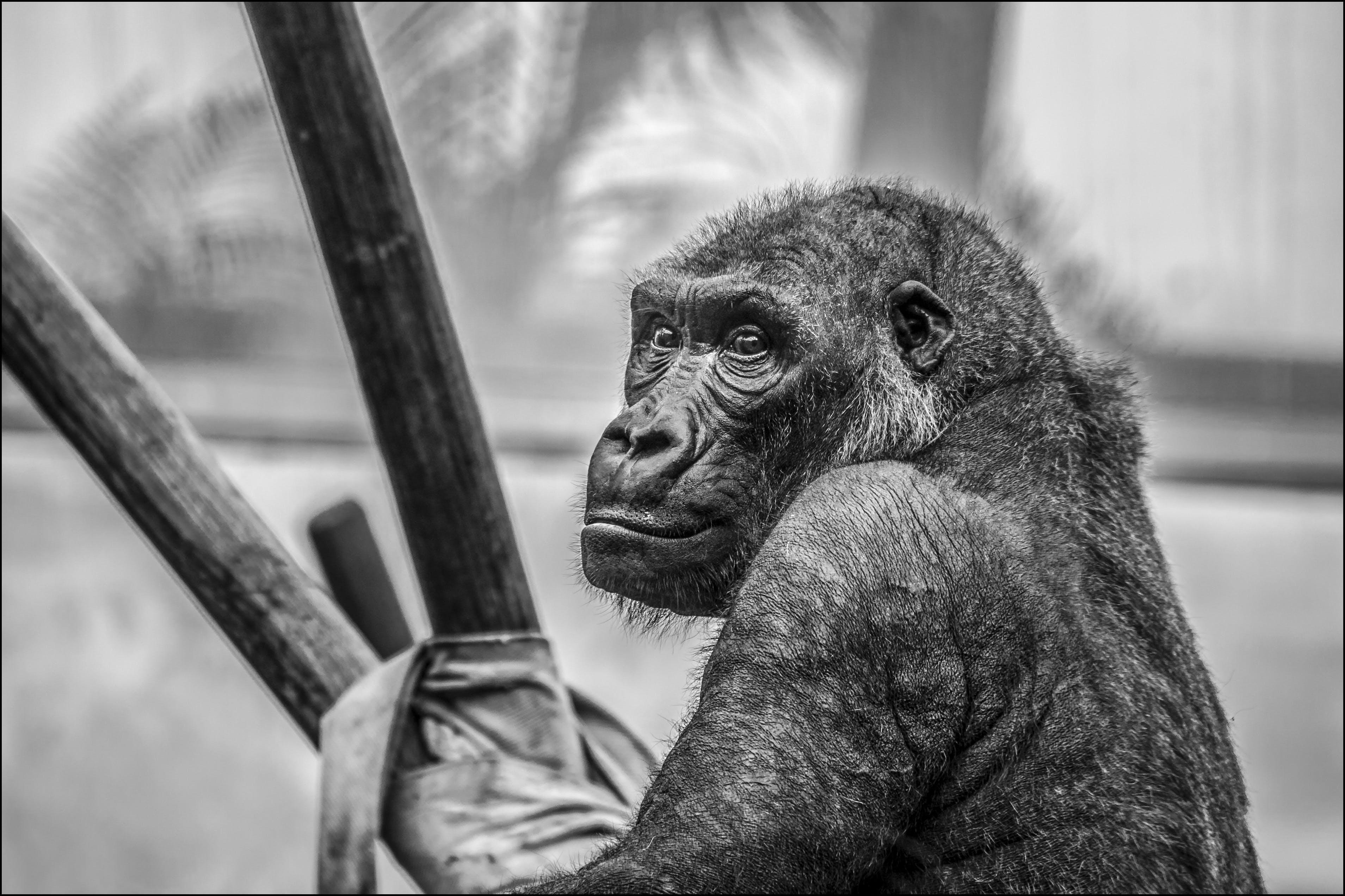 goril, hayvan, primat, siyah ve beyaz içeren Ücretsiz stok fotoğraf