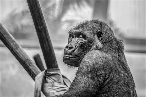 Imagine de stoc gratuită din alb-negru, animal, antropoidă, faună sălbatică