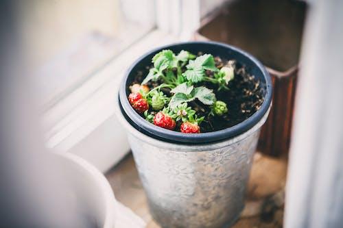 Kostenloses Stock Foto zu boden, erdbeere, essen, frisch