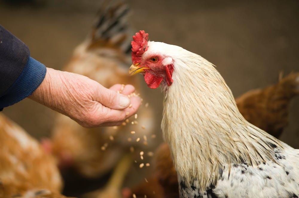 Man feeding a chicken. | Photo: Pexels